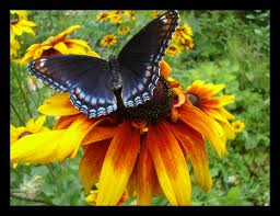 Black-Eyed-Butterfly-butterflies-1195386_690_530