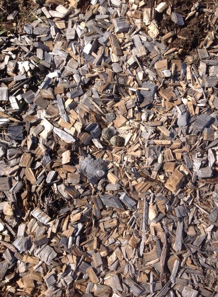 Killdeer eggs in the wood chips