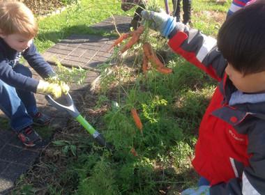 Canton Preschool Garden Picking Carrots
