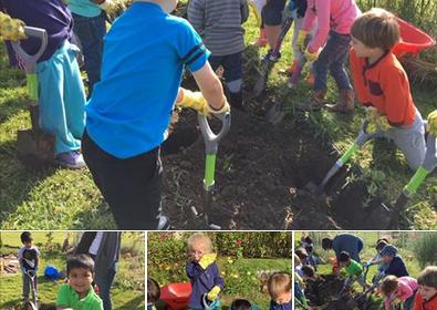 preschool digging up potatoes